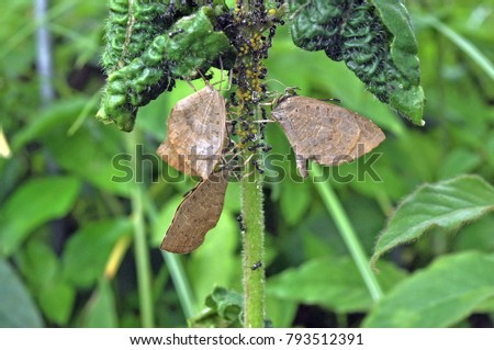 The Green Oakblue (Arhopala eumolphus maxwelli) is a lycaenid butterfly found in the Indomalayan realm The adults are tailed and moderately large. #793512391