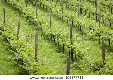 The green raws of vineyard