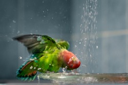 The green-red parrot bathes in the water, the fountain in the house