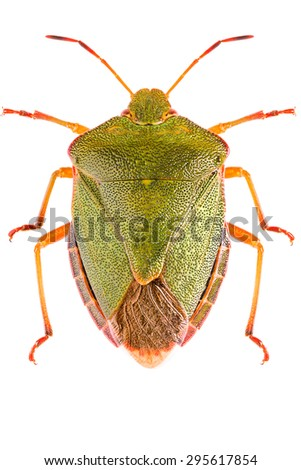 The green shield bug Palomena prasina isolated on white background, dorsal view