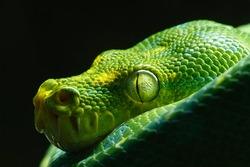 The green tree python (Morelia viridis) is a species of snake in the family Pythonidae. The species is native to New Guinea, some islands in Indonesia, and the Cape York Peninsula in Australia.