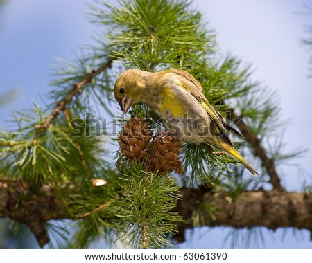 The Greenfinch (Carduelis chloris) in the wild nature. Wild bird.