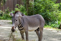 The Grevy's zebra  is the largest living wild equid and the largest and most threatened of the three species of zebra, Compared with others, it is tall, has large ears, and its stripes are narrow.