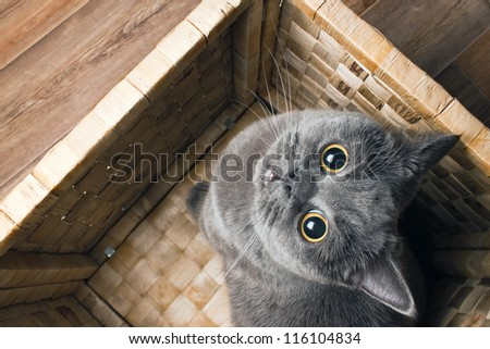 the grey cat British breed with large yellow eyes looks at the camera from the bottom up