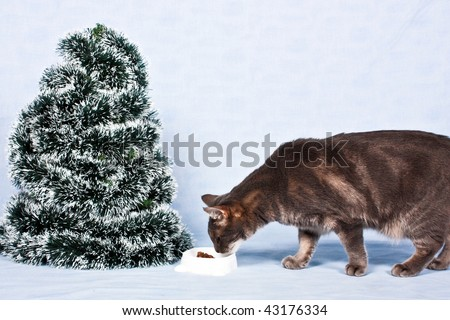 The grey cat eats about the Christmas tree.