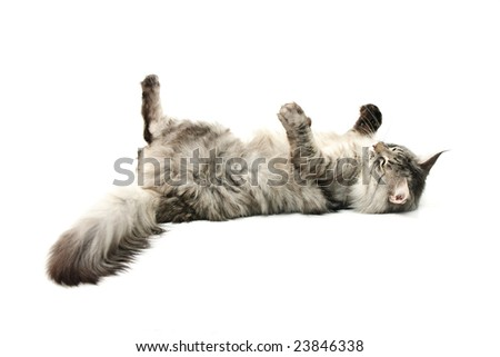 The grey cat lies on a back  against white background