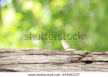 the grey chameleon on trunk and white and yellow  bokeh on green background  #694681237