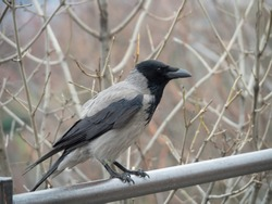The grey crow (Corvus tristis), formerly known as the bare-faced crow, is about the same size (42–45 cm in length) as the Eurasian carrion crow (Corvus corone)