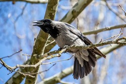 The grey crow in Gagarin Park is the most brazen and common bird. The ravens feel like a housewife and sometimes even chase the ducks on the river.