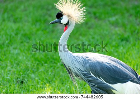 The grey crowned crane (Balearica regulorum) is a bird in the crane family Gruidae. It is found in Africa and Uganda.Exotic bird with a funny hairstyle.