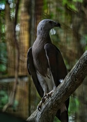 The grey-headed fish eagle (Haliaeetus ichthyaetus) is a fish-eating bird,stocky raptor of prey from South East Asia,the adults having dark brown upper body,grey head and lighter underbelly,white legs