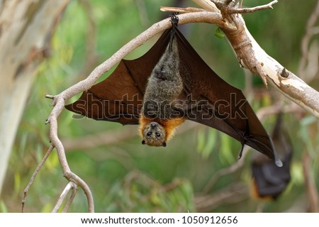The grey-headed flying fox Pteropus poliocephalus is the largest bat in Australia. This flying fox has a dark-grey body with a light-grey head and a reddish-brown neck collar of fur.