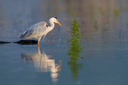 The Grey heron standing in the shallow water of the Kerkini lake. A wild bird from Greece.