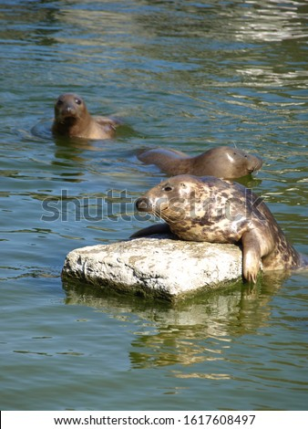 """The grey seal (Halichoerus grypus) is found on both shores of the North Atlantic Ocean. It is a large seal of the family Phocidae which are commonly referred to as """"true seals"""" or """"earless seals""""."""
