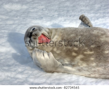 The grey seal Weddell has a rest in Antarctica