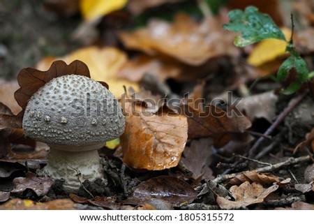 The Grey Spotted Amanita, a edible mushroom; Scientific name: Amanita excelsa Photo stock ©