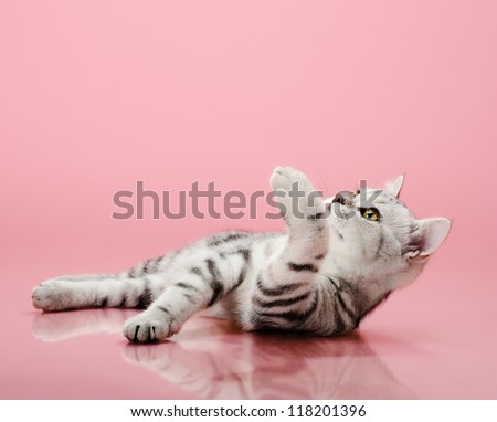 the grey  stripy beautiful little  kitten, lie on pink  background , look on up