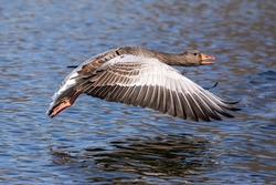 The greylag goose, Anser anser is a species of large goose in the waterfowl family Anatidae and the type species of the genus Anser. Here flying in the air.