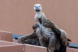 The griffon vulture close up (Gyps fulvus) wings slighly spread. Scavengers in Africa and Middle East.