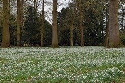 the ground of this park is completely covered with snowdrops under the trees