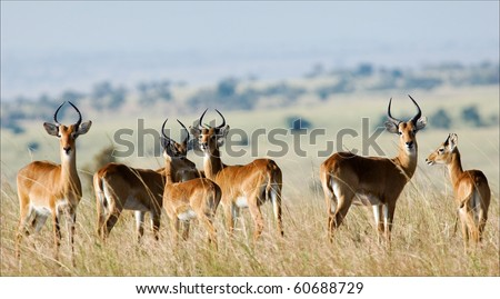 The group of antelopes the impala costs on the grass which has turned yellow from the hot sun.