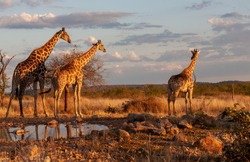 The group of giraffes is standing near watering-place. These are good pictures of wildlife. Photos were taken on short distance and with excellent light.