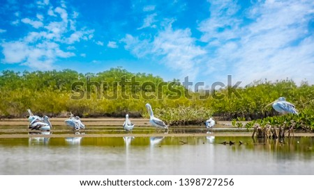 The group of Pink-backed Pelicans or Pelecanus rufescens is resting on the surface in the sea lagoon in Africa, Senegal. It is a wildlife photo of bird in wild nature. There is sunny day. #1398727256