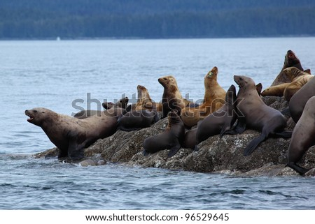 The group of sea lions is on rocks near water in Alaska, the USA
