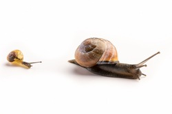The grove snail, brown-lipped snail or Lemon snail is a species of air-breathing land snail, a terrestrial pulmonate gastropod mollusc.