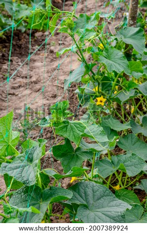 The growth and blooming of greenhouse cucumber. the Bush cucumbers on the trellis. Cucumbers vertical planting. Growing organic food. Cucumbers harvest.Cucumbers grow on a bed.
