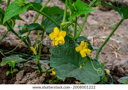 The growth and blooming of greenhouse cucumbers. the Bush cucumber on the trellis. Cucumbers vertical planting. Growing organic food. Cucumbers harvest.Cucumbers grow on a bed.