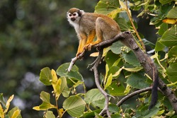 The Guianan squirrel monkey (Saimiri sciureus). Small monkey standing on tree branch. Monkey with orange body and frash yellow legs, very long black tail, white mask. Diffuse soft green background.