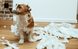 The guilty dog destroyed the pillow at home. Jack Russell Terrier sits among the remains of a torn pillow. OOPS