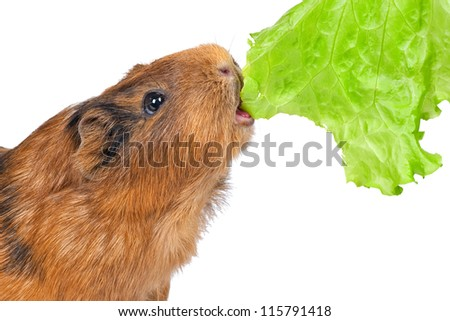 the guinea pig eats a green lettuce leaf on a white background