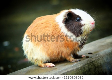 The guinea pig or domestic guinea pig, also known as cavy or domestic cavy, is a species of rodent belonging to the family Caviidae and the genus Cavia.