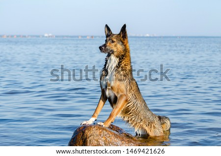 The Gulf of Finland. Young energetic half-breed dog is standing on a stone at sunset. Doggy is playing in water. Sunstroke, health of pets in the summer. How to protect your dog from overheating. #1469421626