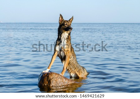 The Gulf of Finland. Young energetic half-breed dog is standing on a stone at sunset. Doggy is playing in water. Sunstroke, health of pets in the summer. How to protect your dog from overheating. #1469421629