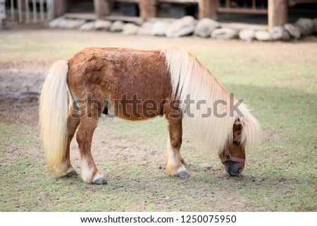The hairs and heads of dwarf horses with white feathers and brown, Brown dwarf horse eating grass in the farm, dwarf horse in the zoo,