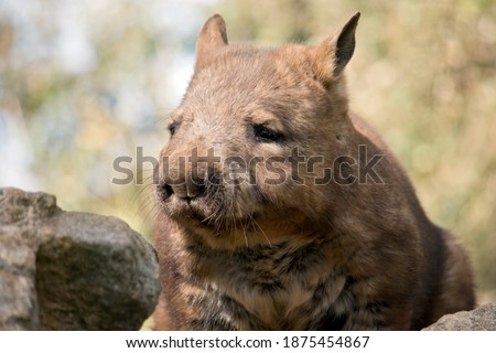 the hairy nosed wombat walks on 4 legs and has sharp claws Photo stock ©