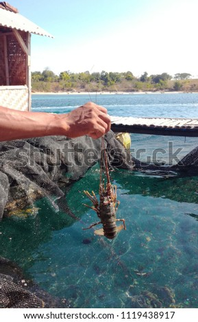 The hand holds a lobster, alive and green above the water The place where lobsters are grown. Lombok, Indonesia - Shutterstock ID 1119438917