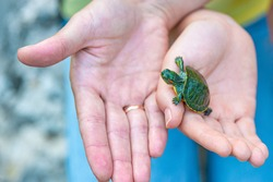 The hand holds a newly hatched baby turtle. A small turtle on human palms.
