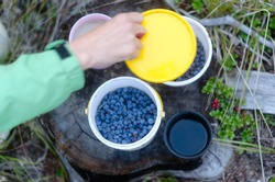 The hand of a tourist girl in the North closes a jar of wild blueberries standing on a stump next to cups of tea and coffee in the Yakut forest.