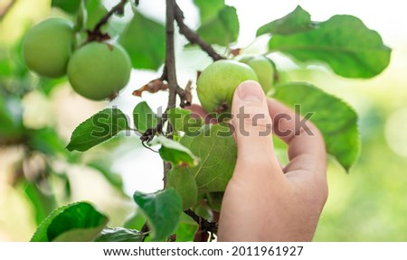 The hand reaches for the apple. Apples in hand. Apple orchard. Young green apples on a branch. Unripe apples. Branch with leaves and apples.