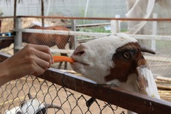 The hand that feeds carrots to the hungry animal in the cage. The goat is eating delicious food with friendly. Take photo in Thailand