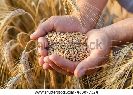 The hands of a farmer close-up holding a handful of wheat grains in a wheat field. #488899324