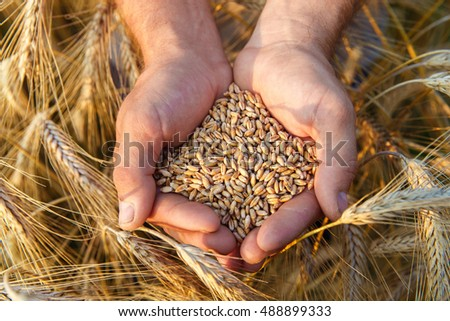 The hands of a farmer close-up holding a handful of wheat grains in a wheat field. #488899333