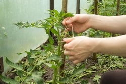The hands of a young man are tied with a hemp twine a seedling of a tomato to a wooden stick. This is made to support the plant.
