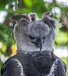The harpy eagle (American harpy eagle, Harpia harpyja) is a neotropical species of eagle. In Brazil, the harpy eagle is also known as royal-hawk. It usually inhabits tropical lowland rainforests