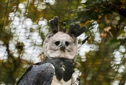The harpy eagle, Harpia harpyja is also called the American harpy eagle is among the largest species of eagles in the world. It can be found in the upper canopy layer of tropical lowland rainforests.