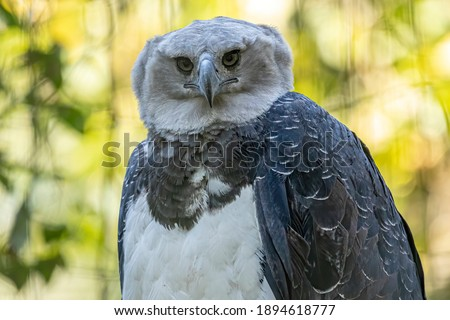 The Harpy Eagle (Harpia harpyja) with green nature bokeh as background Foto stock ©